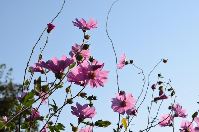 Mallow, Summer, Sky, Hollyhock Flower, Flower, Nature