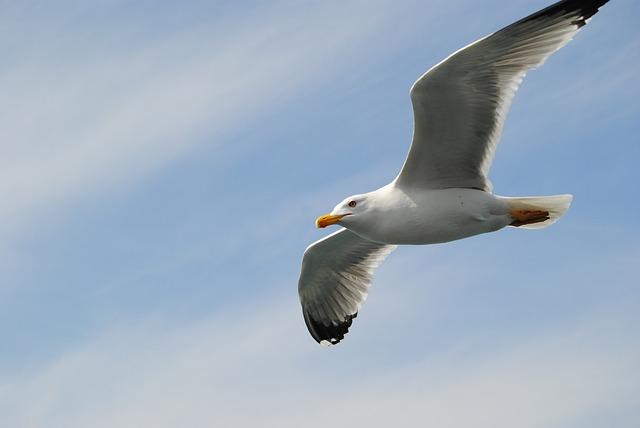 Seagull, Fly, Sky, Bird