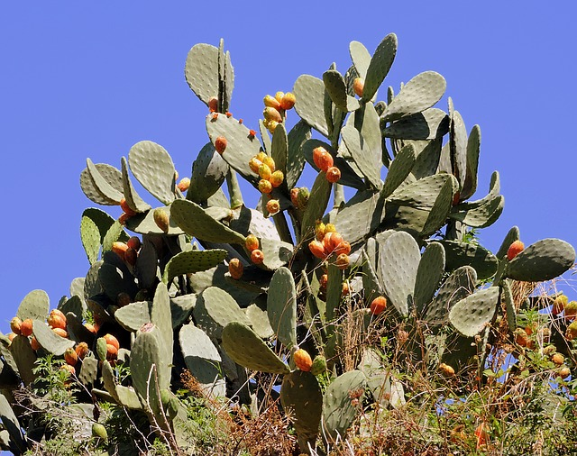 Prickly Pears, Succulent Plant, Sky, Green, Nature