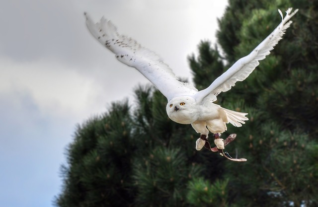 Snowy Owl, Bird, Raptor, Animal, Owl, Fly, Sky
