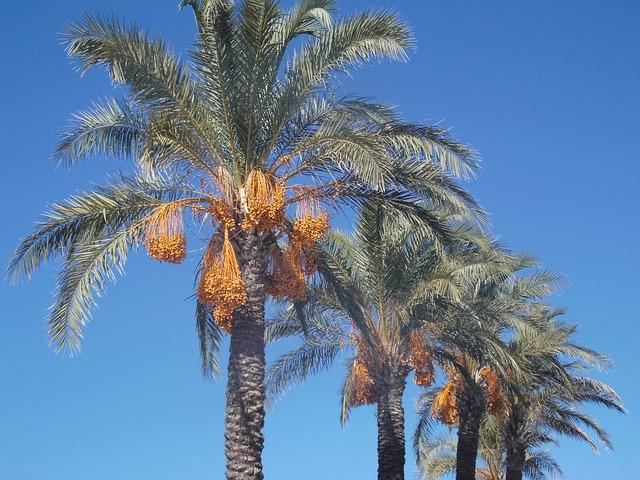 Date Palms, Palm Trees, Plamenfrucht, Sky, Turkey