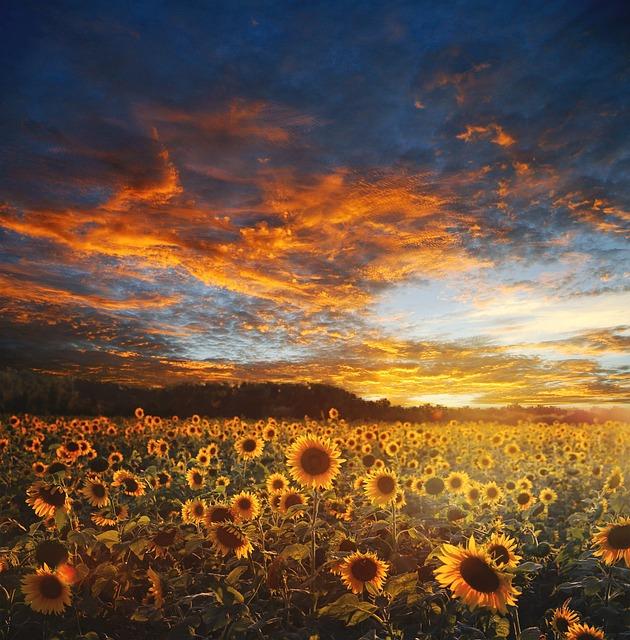 Sunflower Field, Landscape, Scene, Scenery, Nature, Sky