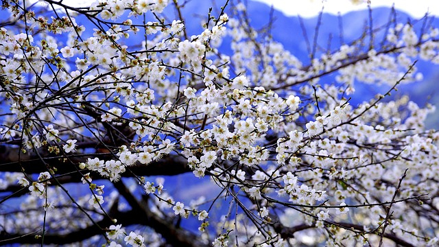 Plum Blossom, Blue Day, Sky, Spring, Flower's