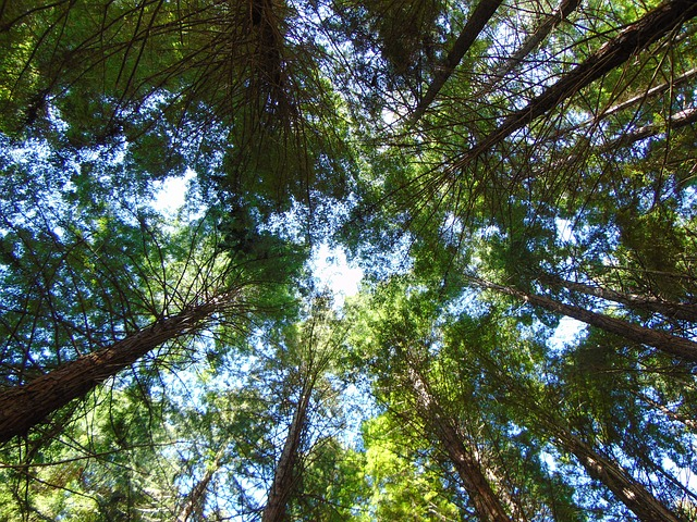 Trees, Sky, Redwoods, Forest, Outdoor, Season, Summer