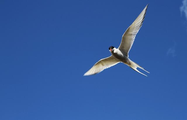 Arctic Tern, Tern, Bird, Flight, Flying, Wings, Sky