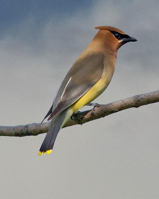 Cedar, Wax, Wing, Birds, Yellow, Sky, Birding, Kd9ced