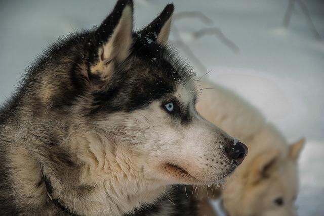 Dog, Husky, Fur, Sled Dog, Snow