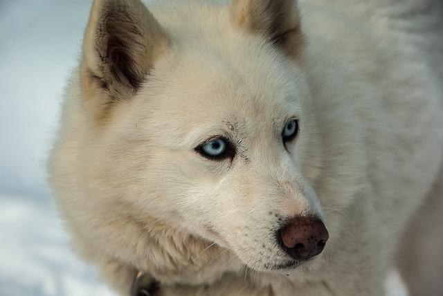 Husky, Sled Dog, Dog, Canine, Mammal