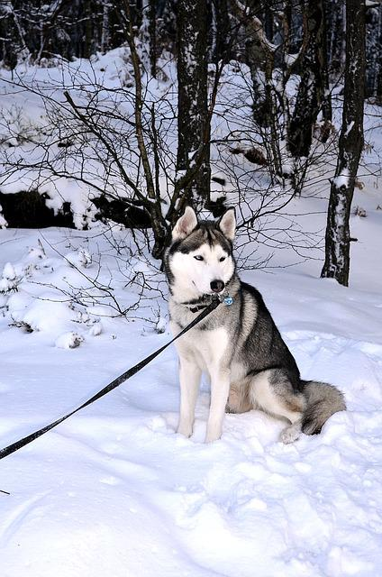 Husky, Dog, Siberian Husky, Sled Dog, Sunny, Winter