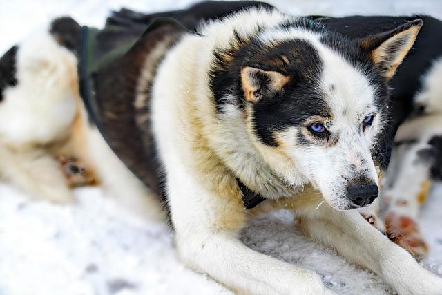 Husky, Lapland, Dogs, Huskies, Finland, Sled Dog Racing