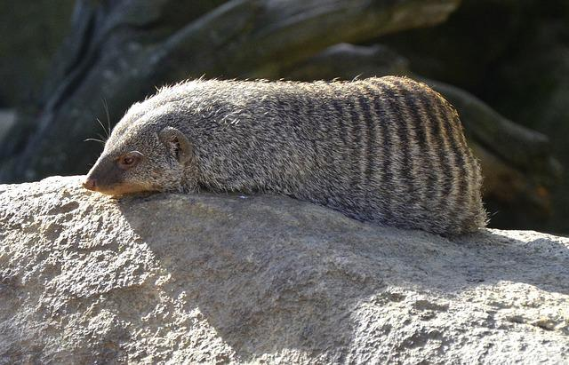 Mongoose, Banded Mongoose, Africa, Possierlich, Sleep