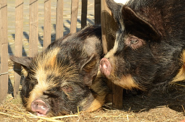 Animal, Mammal, Pig, Hog, Potbellied Pig, Nose, Sleep
