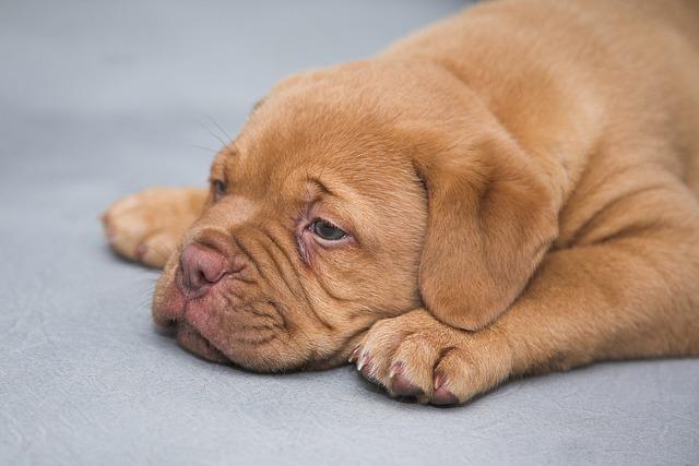 Dogue De Bordeaux, Puppy, Dogs, Sweet, Cute, Sleep