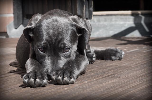 Pet, Dog, Puppy, Shy, Cute, Sleepy, Canine, Animal