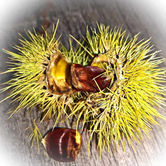 Chestnut, Green Prickly Fruit, Sliced