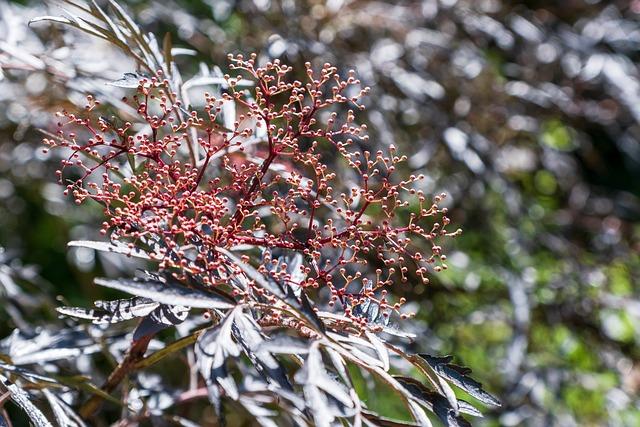 Elder, Slit-leafed Elderberry, Red, Bud, Elder Buds