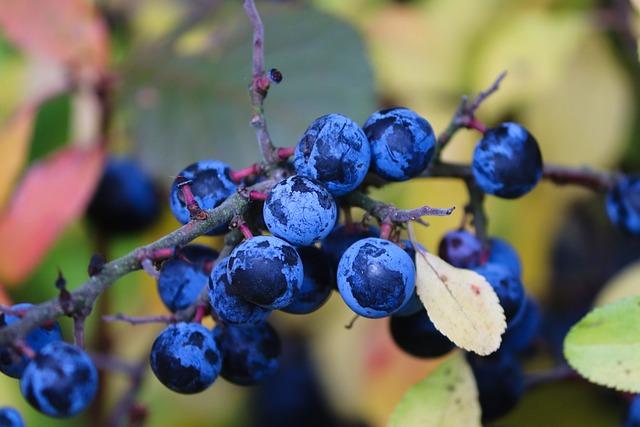 Berries, Sloes, Blackthorn, Prunus Spinosa