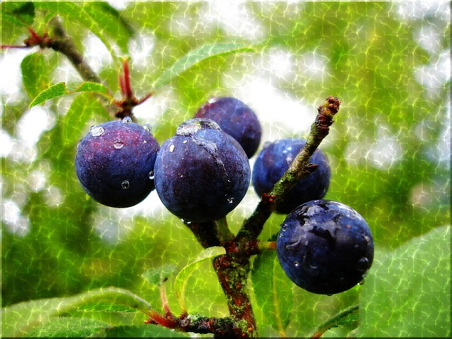 Sloes, Blue, Raindrop, Water Effect, Close, Branch