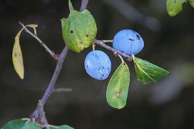 Sloes, Blackthorn, Prunus Spinosa, Schlehendorn