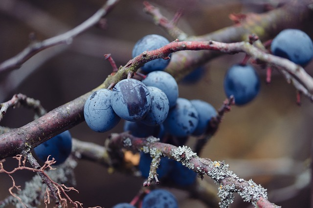 Sloes, Blackthorn, Prunus Spinosa, Schlehendorn