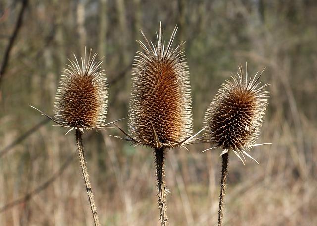 Slut Idle, Dipsacus Sylvestris, Thistle, Dry Flowers