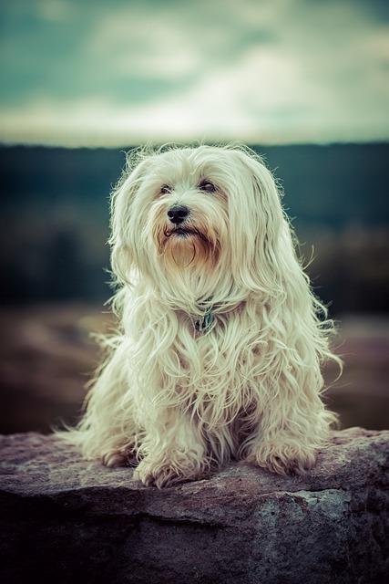 Dog, Flare, Havanese, Pet, Outdoor, Animal, Small