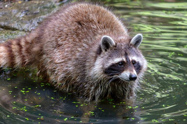 Raccoon, Small Bear, Water, Swim, Predator, Mammal