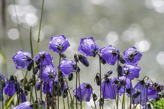 Flowers, Violet, Small Bellflower