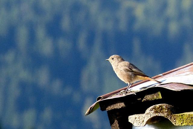 Rotschwaenzchen, Bird, Sheet Metal Roof, Small Bird