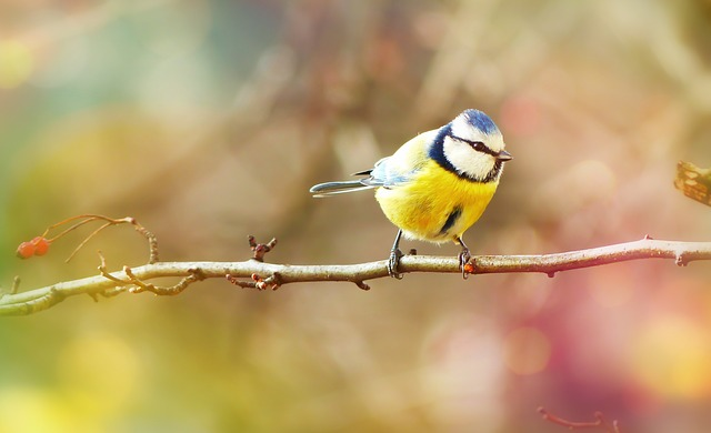 Crested Tit, Bird, Small, Colored, Sprig, Bokeh