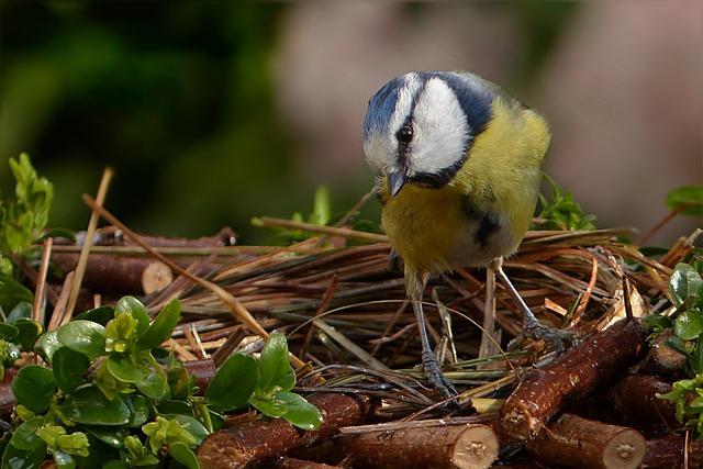 Blue Tit, Cyanistes Caeruleus, Bird, Small Bird, Garden