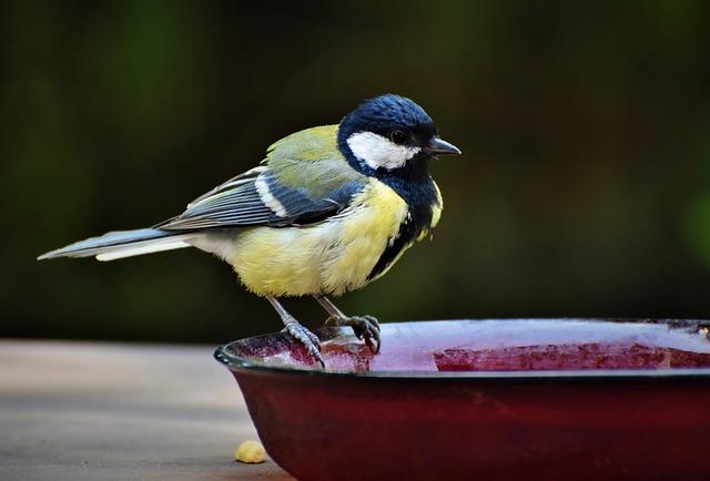 Tit, Songbird, Bird, Small Bird, Animal, Bird Bath