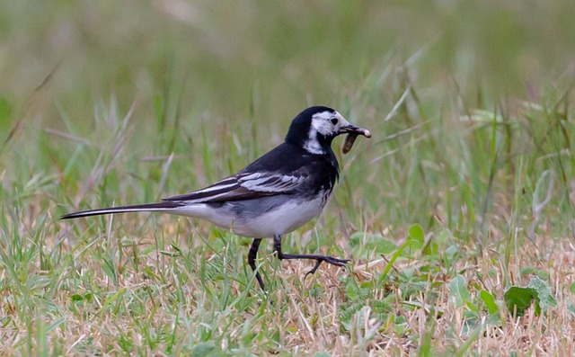 Pied Wagtail, Wagtail, Small Bird, Black, White