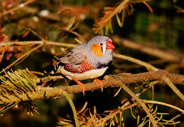 Bird, Small, Colorful, Finch, Zebra Finch, Feather