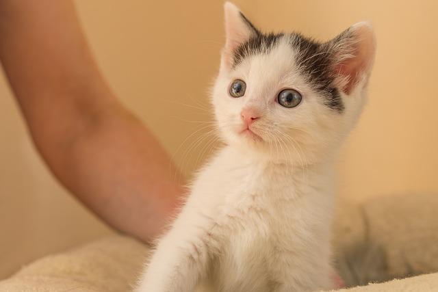 Kitten, Cat Baby, Small, Baby Cat, Cute, Sweet, Pet