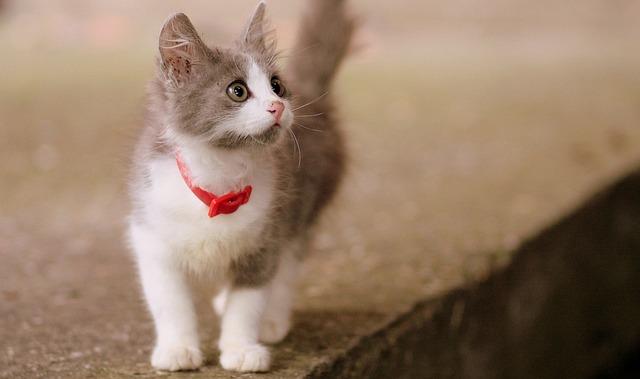 Cat, Small, Cute, Pete