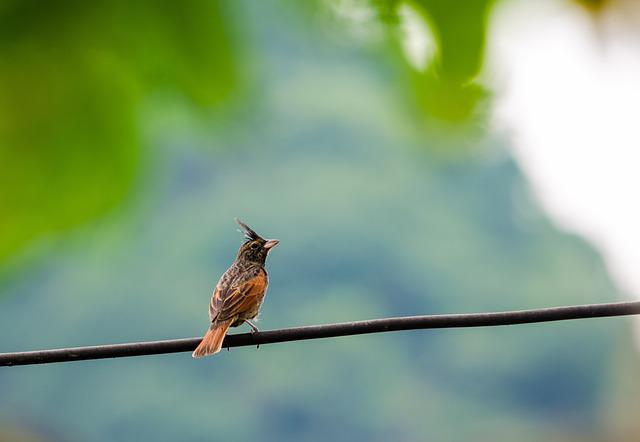 Crested Bunting, Melophus Lathami, Bird, Small, Sitting