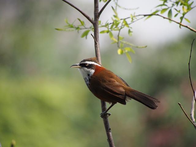 Small Curved Beak, Thrush, Taipei, Daan Park