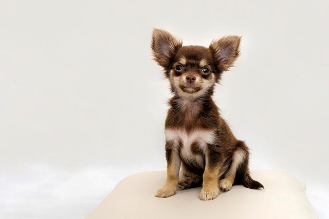 Chihuahua, Small Dog, Dog, Chiwawa, Cute, Purebred Dog