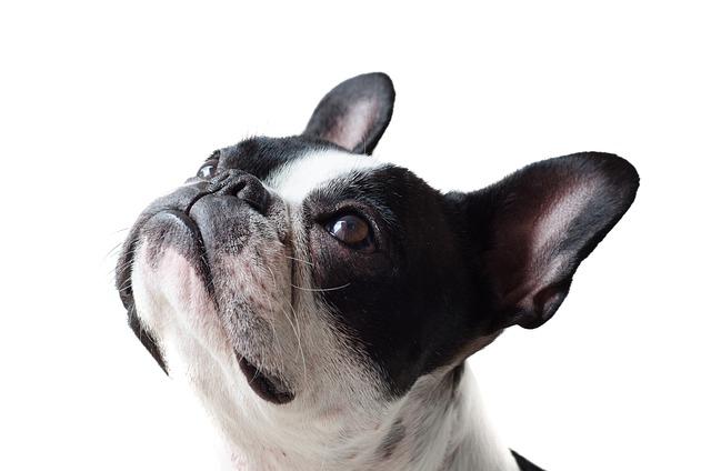Dog, Pet, Animal, Canine, Bulldog, Small, Domestic
