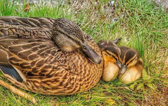 Duck, Chicks, Water Bird, Ducklings, Cute, Small