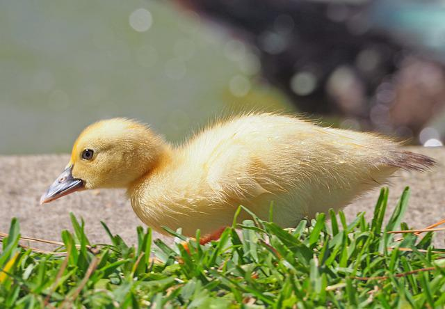 Bird, Animal, Nature, Feather, Small, Duck, Chicks