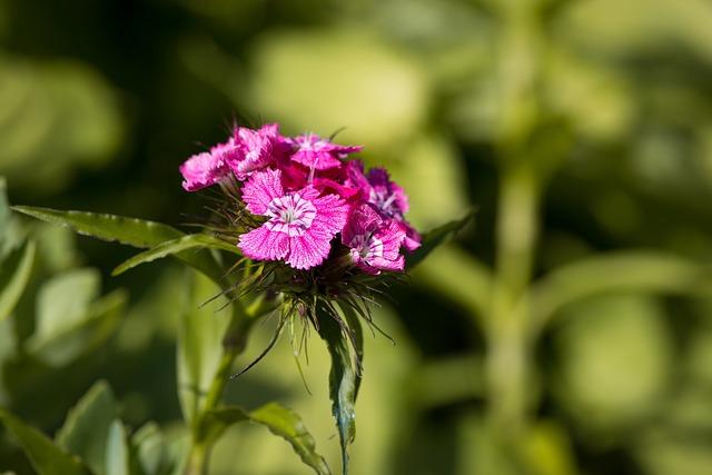Carnation, Sweet William, Flower, Flowers, Small Flower