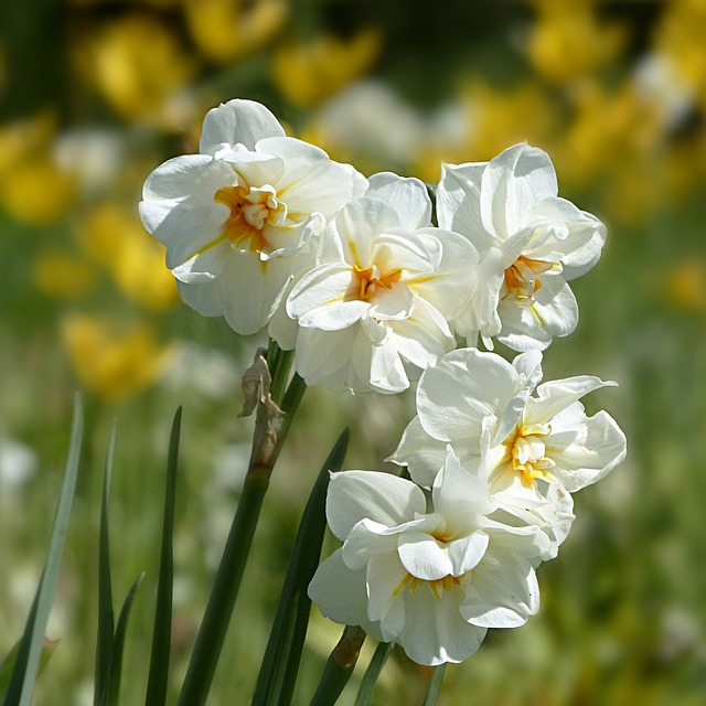 Plant, Flower, Narcissus, Filled, Small Flower, Yellow