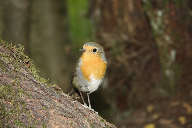 Robin, Bird, Photo Model, Fun, Holiday, Forest, Small