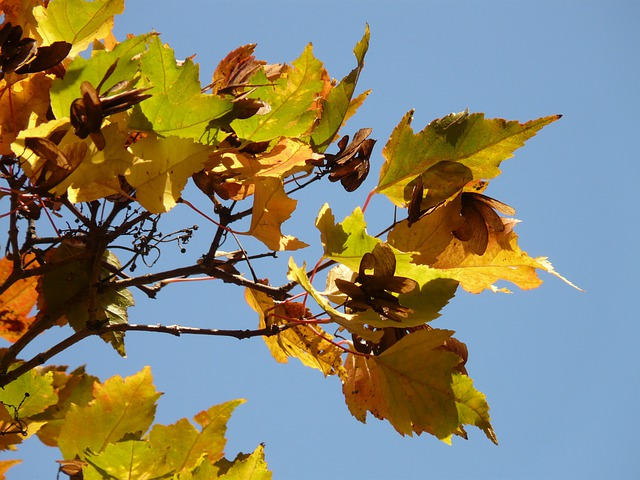 Fire Maple, Autumn, Small Leaf, Fall Foliage