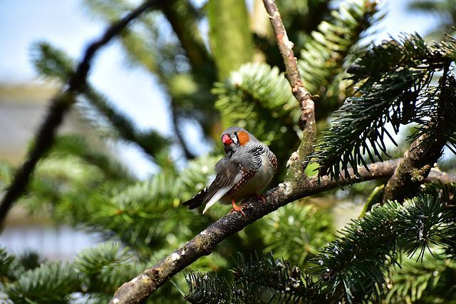 Zebra Finch, Little Bird, Feather, Bird, Small, Bill