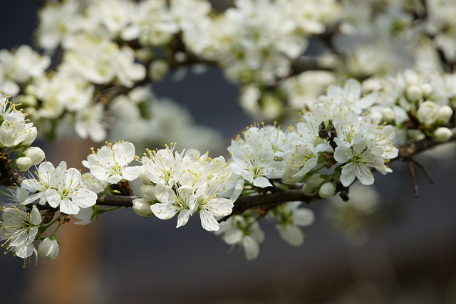 Mirabelle, Small, Yellow, Plum, Flowers, Spring, March