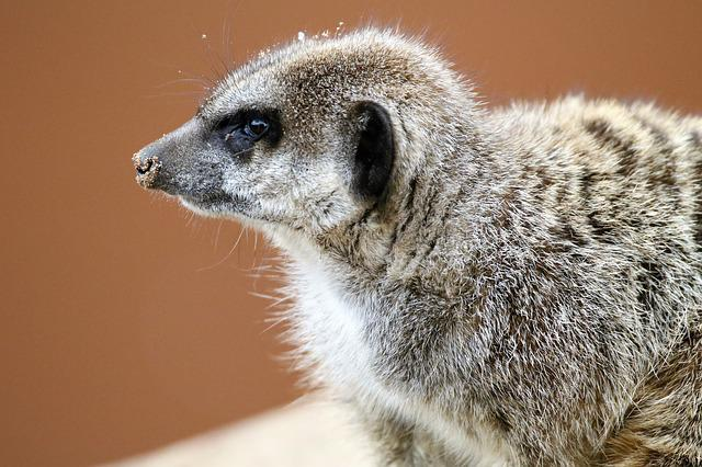 Meerkat, Small, Mongoose, Nature, Animal, Wild, Cute