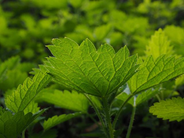 Small Nettle, Stinging Nettles, Urtica, Urticaceae